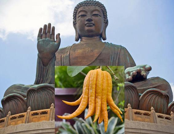 Statua di Bhudda e l'esotico agrume mano di Bhudda