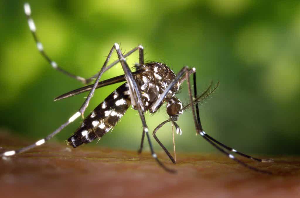Una zanzara tigre nell'atto di nutrirsi.