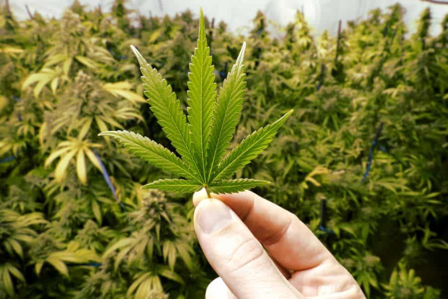 Marijuana Messico